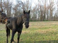 Standardbred - Shrek - Large - Adult - Male - Horse