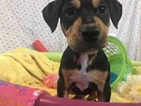 Stanley's story Sapphires pup, Black and Tan pit