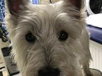 Stanley's story Stanley is a 4 year old Westie who is a