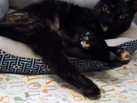 Star is a 15 month old, spayed female torti domestic