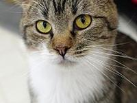 My story Sweet, Little Young DSH 1 yr old brown tabby