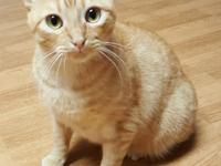 Meet Starsky!! He is an adorable 2.5yr old rumpy Manx.