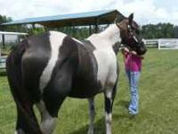 Blackie is 15.3 and 10 Has been started and is loping