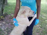 Female lab mix about 40-45 pounds and 2 yrs old. She is