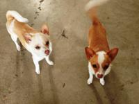 These 2 little chihuahua girls are looking for a home