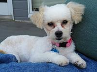 Stella's story Stella is a 7 month old Malti/Poo. The