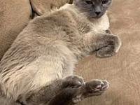 Stella's story Beautiful blue-eyed, blue-point Siamese