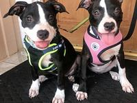 My story STELLA AND SASHA: American Terrier Red Nose