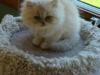 Meet 'Stephen' Cream Male Persian Kitten. Born May