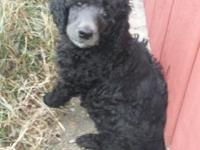 Sterling is our silver male CKC reg. Standard poodle