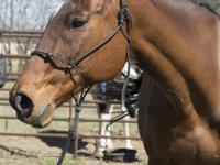 Name: Sterling Gender: Mare Breed: Thoroughbred Height: