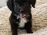 Steven's story Meet Steven! This little Pomapoo/chi mix
