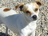 Stimpy is a male chihuahua who is approximately 2-4