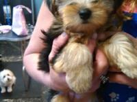 8 week old yorkies prepared for their new houses 2