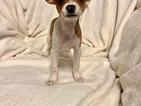 Stitch's story Stitch is a Male Chi mix. Born 7/4/18