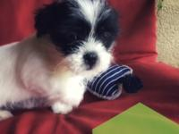 Meet Stitch!  Stitch is a 9-weeks-old Shih Tzu/Terrier