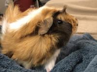 Stobby is a very handsome male Abyssinian guinea pig.