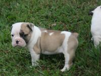 Gorgeous, high quality Olde English Bulldog puppies. We