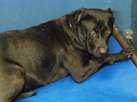 Storm's story STORM SHELTER BREED: PIT MIX FEMALE, 1.5
