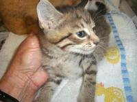 STORMY's story Stormy, brown tabby female kitten;