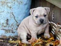 I have a American Pitbull Terrier 9 weeks old Female