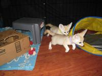 We have two amazing Fennec Fox Kits, a male and female.