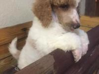 Now offering outstanding Poodle puppies. Current on
