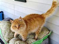 Straw Boss-ADOPTED's story This big fluffy boy is Straw