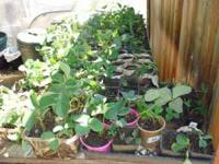 EVERBEARING STRAWBERRY PLANTS: Rooted starts: $3.00