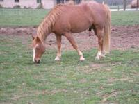 This is a beautiful strawberry roan stud. He is out of