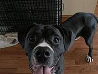 My story Strider is a 1 year old male Boxer. He is 64