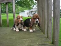 Strong clean and Charming Bassett Hounds- 11 Weeks Old.