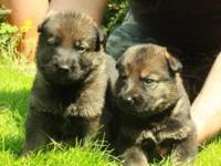 TWO GORGEOUS LITTERS WITH EACH MALES AND FEMALES