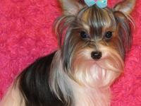 NOT FOR SALE- I have 3 AKC (can be CKC) Yorkies for