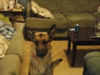 I have a 2 year old male German Shepherd and looking to