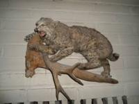 THIS BOBCAT IS BEAUTIFULLY STUFFED AND MOUNTED, HAS