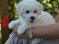 Stunn Pure Bichon frise  Puppies Ready To Meet New