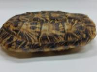 "This is a beautiful 6"" Male Pancake tortoise"