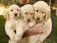 WE HAVE BEEN BREEDING HIGH QUAILTY GOLDEN RETRIEVERS