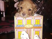 Beautiful purebred teacup poodle female puppies, AKC