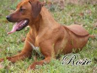 www.LegacyRidgebacks.com Stunning female Rhodesian