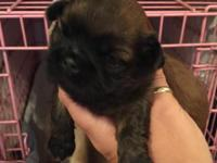 Stunning, tiny AKC Shih-Tzus pups available (2 males).
