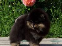 Akc registered male Pomeranian puppy. His name is King.