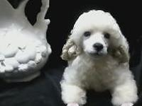 AKC 14 week old white male Toy Poodle puppy tail