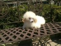 AKC 15 week old white male Toy Poodle puppy tail