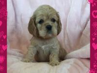 Superb purebred american cocker spaniel puppies for