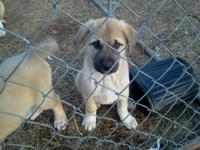 Attractive huge AKC young puppies. These dogs are