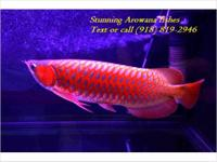 Animal Type: Fishes Breed: Arowanas Stunning Arowana