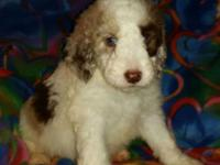 This is Harrington, He is a Red Merle and White