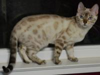 Poppy is a TICA Registered Bengal Kitten, Born on July